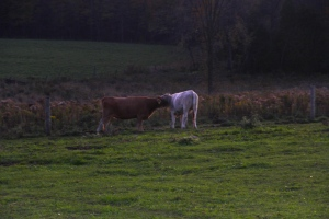 Cows at Whole Circle Farm